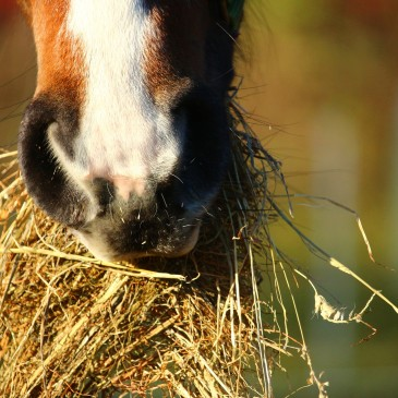 Sezon na siano dla konia