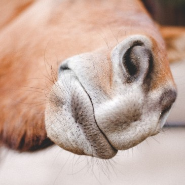 Alergia oddechowa u konia: RAO (COPD)