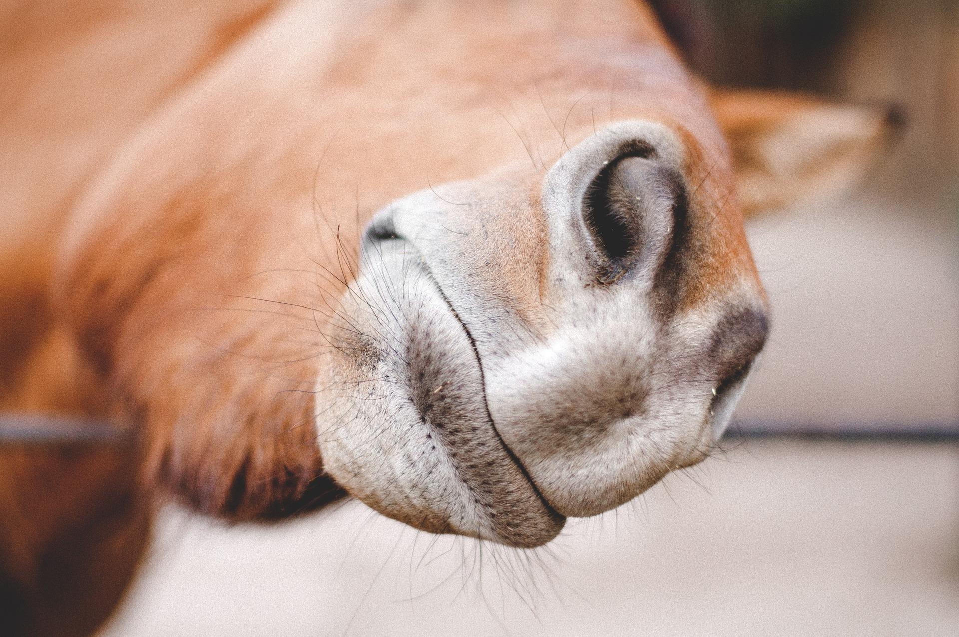 żywienie koni z rao
