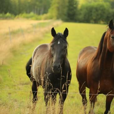 Lepsze wypasanie czy lucerna dla koni?