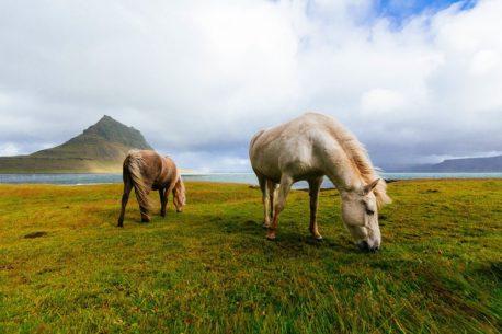 lucerna dla koni