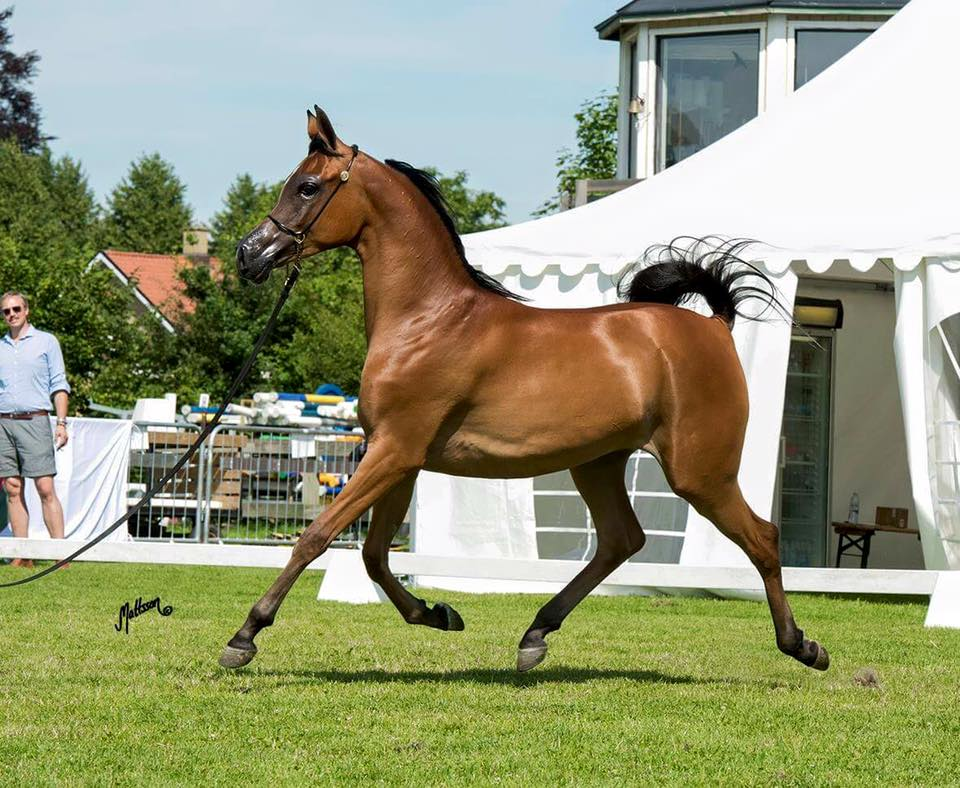 pasza dla koni arabskich