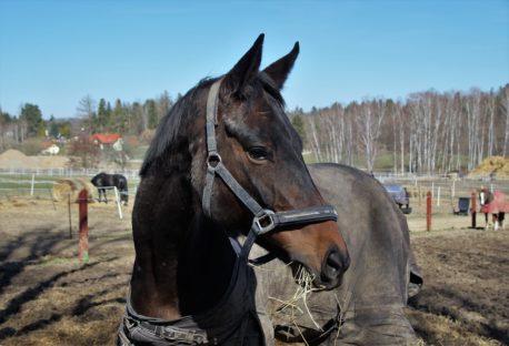pasza dla koni kolkujących