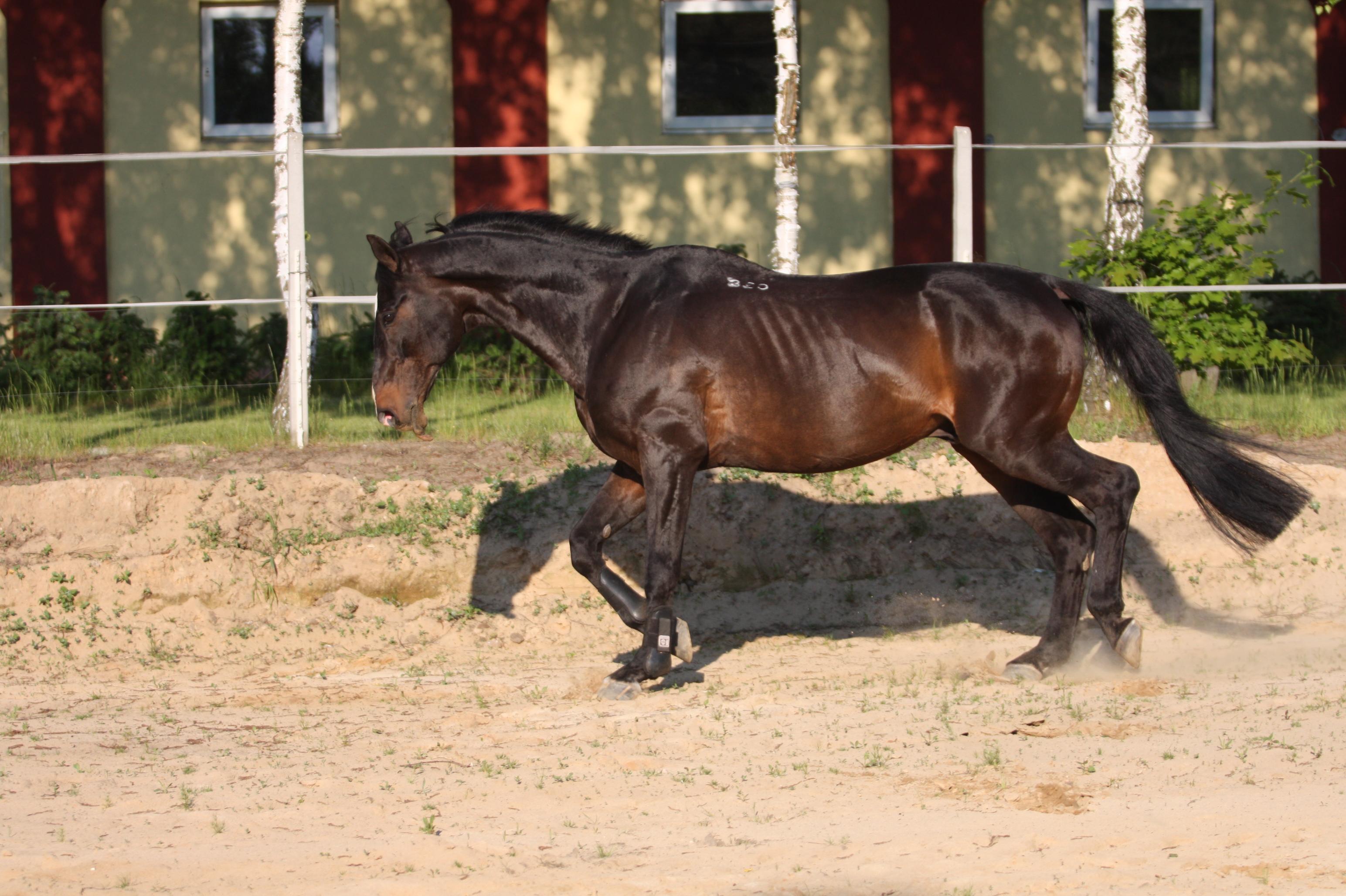 pasza dla koni senior