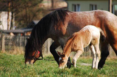 pasza dla młodych koni