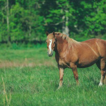 Melasa składnik paszy dla koni