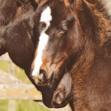 Pasza dla koni: mesz