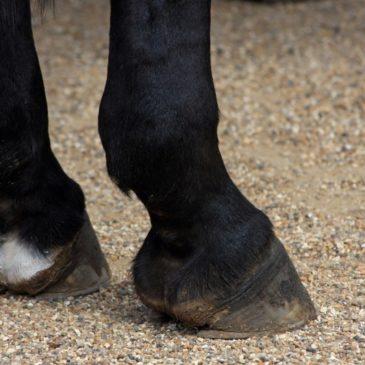 Jak leczyć grudę u koni?