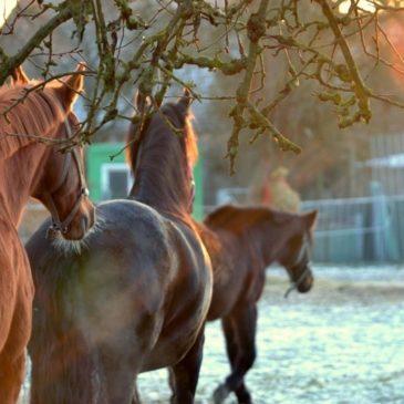 Granulowana lucerna jako świetny dodatek dla koni kaszlących