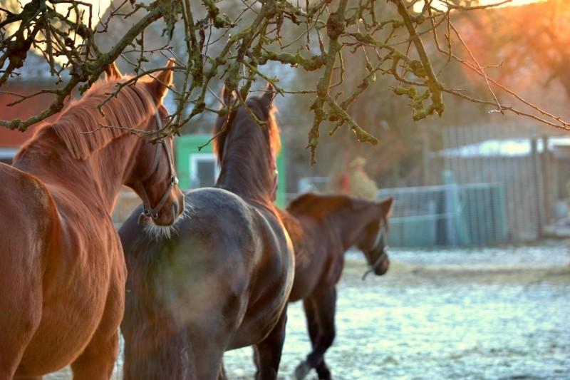 lucerna granulowana dla koni