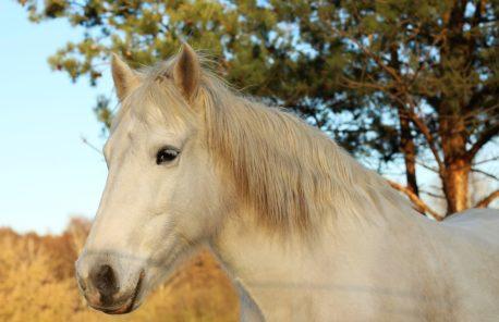 wrzody u koni
