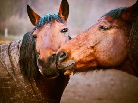 pasza dla koni subli