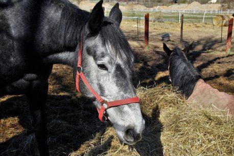 pasza dla koni seniorów