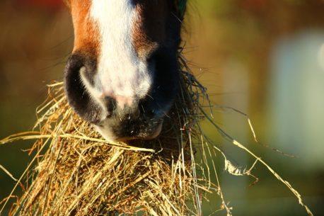 żywienie konia