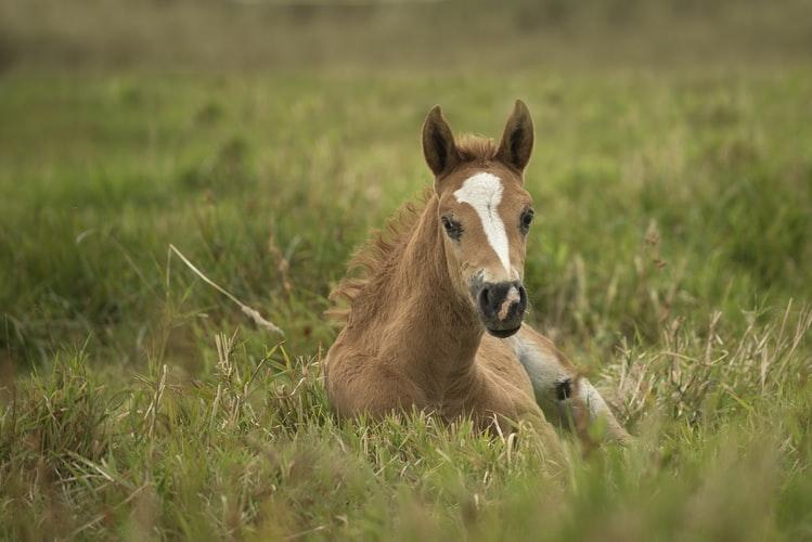 owies w żywieniu koni