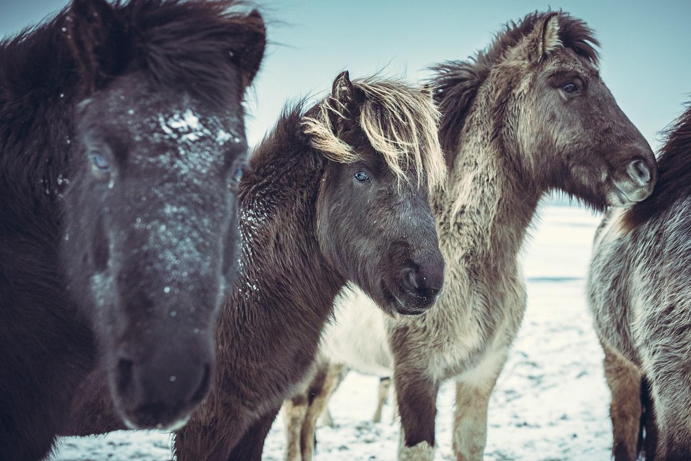konie gorącokrwiste
