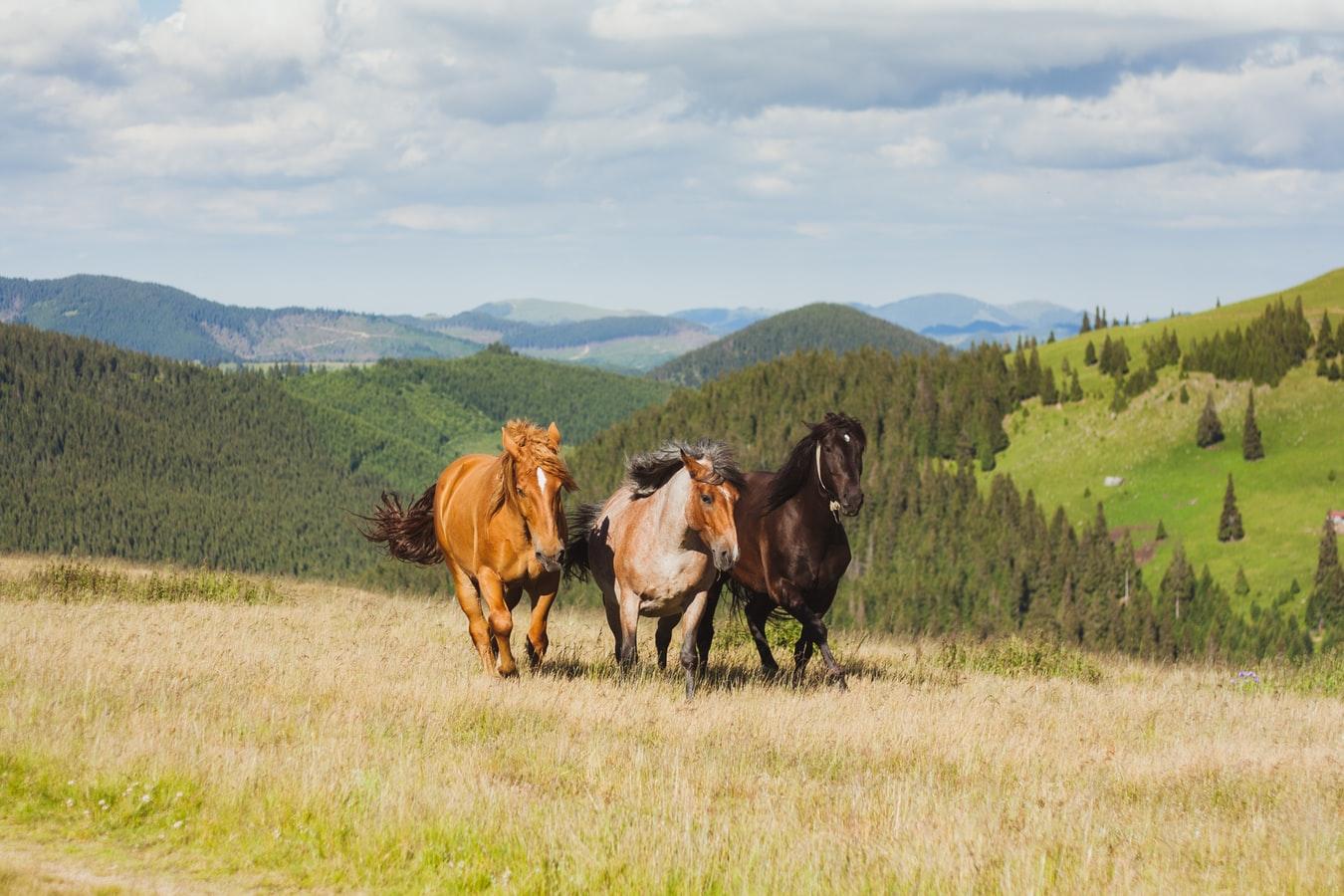rasy koni gorącokrwistych