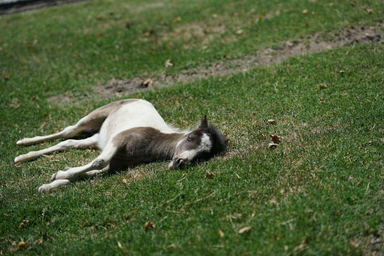 jak śpi koń