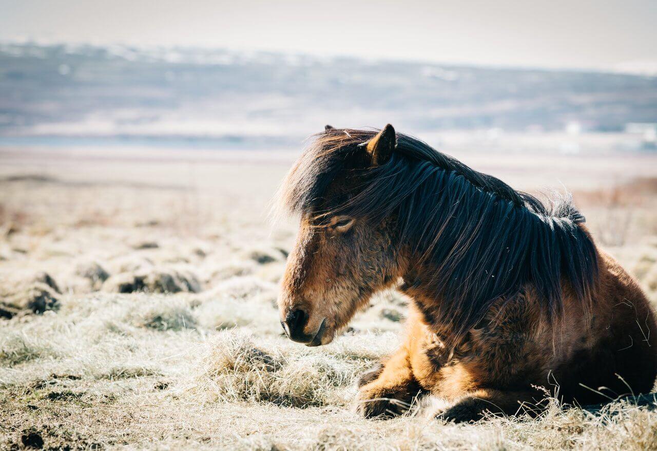 kolka u koni