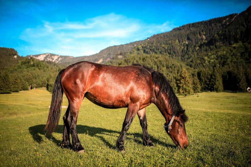 lipcówka u koni leczenie