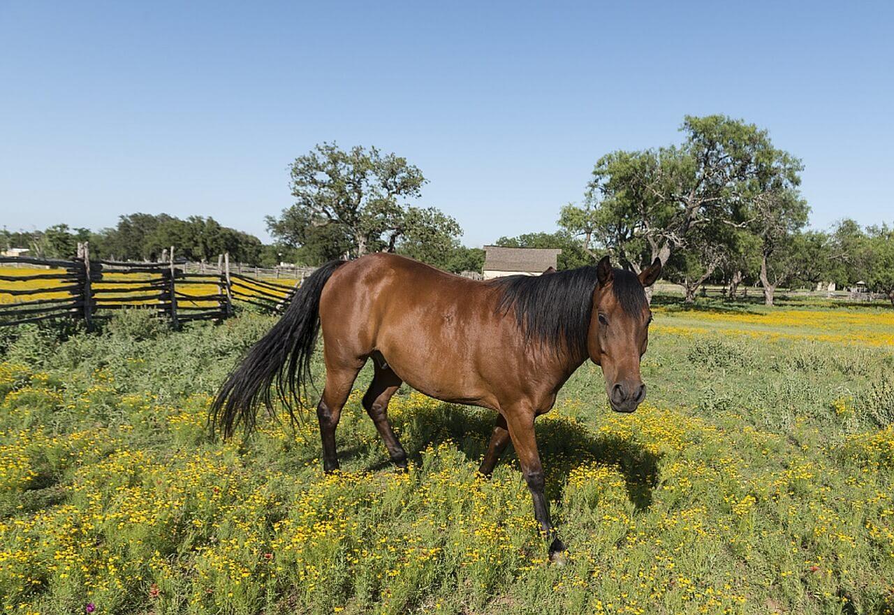 lipcówka u koni