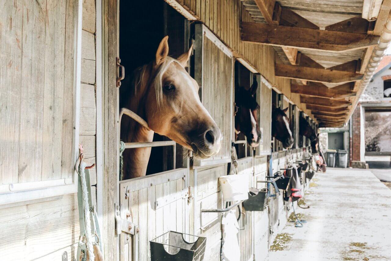 szczepienia koni